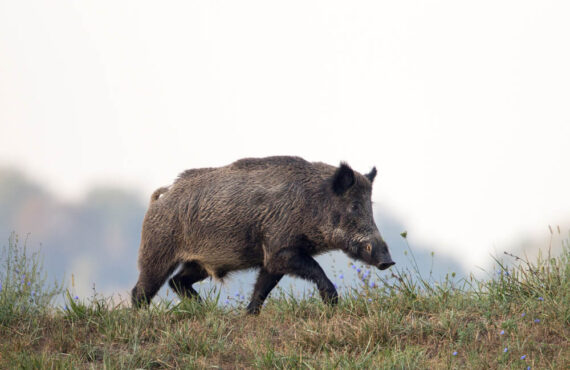 Dzik jest dziki, nie jest zły. Jak Kraków radzi sobie z dziką zwierzyną?